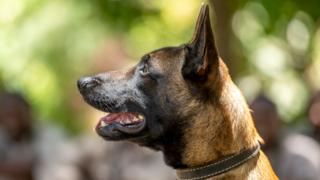A Malinois dog with its ears pricked to attention in Arusha, Tanzania