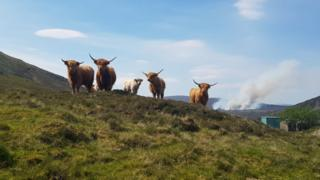 Highland cows with wildfire in the background