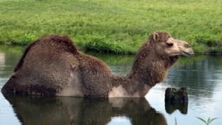Верблюды охотно заходят в воду, которая встречается на их пути