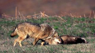 Серый волк трется о дохлого барсука