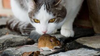 The house mouse has been living alongside humans for thousands of years
