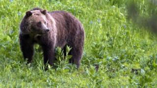 A grizzly bear roaming near Beaver Lake in Yellowstone National Park (06 July 2011)