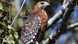 Red Tailed Hawk - generic