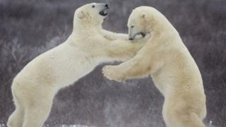 İki yetişkin kutup ayısı