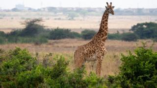 Niger, girafe, faune