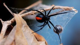 Australia's redback spider