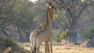 Boyunlarını birbirine dolamış iki zürafa