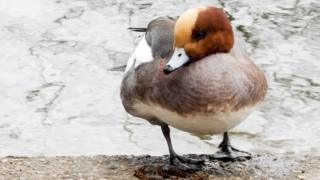 A male wigeon