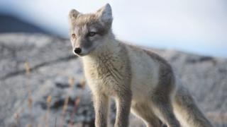 Arctic foxe
