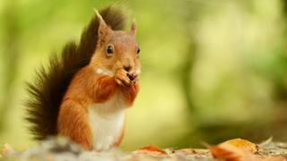 Red Squirrels face pressure for food