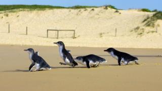 Mavi penguen