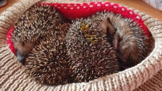 Drop in RSPCA hedgehog calls 'evidence of decline'