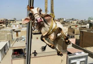 Un joven toro alzado con grúa en Karachi, Pakistán.