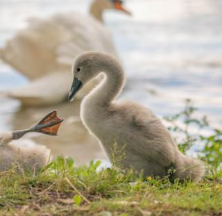 A cygnet by water