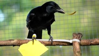 New Caledonian crow makes a 'paper token' of the correct size for a vending machine