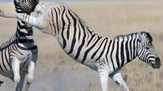 Tendangan zebra