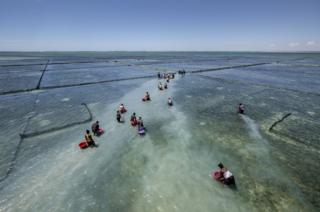 The villagers in shallow water prepare to release a new batch of juvenile sea cucumbers into their pens
