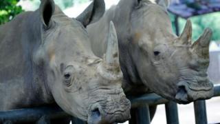 Dos ejemplares del rinoceronte de Java.