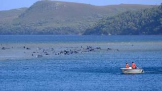 Una barca, junto a las ballenas varadas.