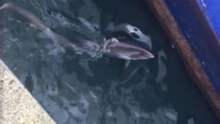 The thresher shark in Fishguard Harbour