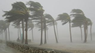 Palm trees blasted by winds over 100 mph during the 2005 Hurricane Wilma in Miami Beach, Florida.