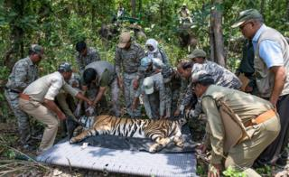Forest officers lay the tranquilised tiger down