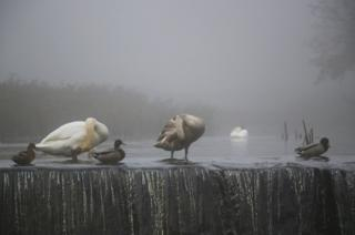 Swans and ducks in water