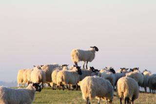 Sheep on White Horse Hill