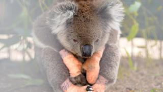 An injured koala at a vet service on Kangaroo Island