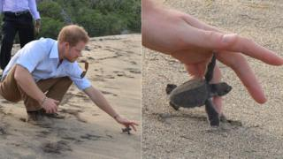 Prince Harry releases baby turtle in Nevis