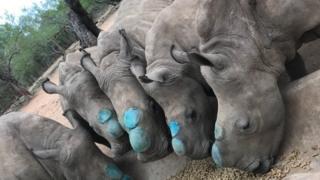 Cinco filhotes de rinoceronte se alimentam em reserva