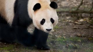 Giant Panda, Yang Guang, exploring his new home at Edinburgh Zoo.