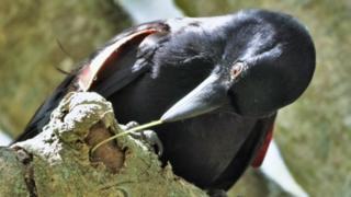Cuervo de Nueva Caledonia usando una herramienta en forma de gancho
