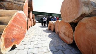 5.000 mètres cubes de Kevasingo, un bois rare interdit d'exploitation, ont été découverts dans deux sites d'entreposage appartenant à des sociétés chinoises. (Image d'archives)