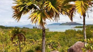 塞舌尔海椰树
