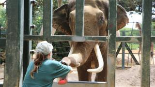 Keepers train the male elephant to distinguish different smells