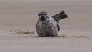 Seal on Findhorn beach
