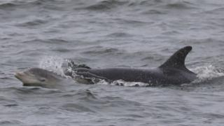 Dolphin and calf in Peel Bay