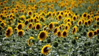 Sunflowers in a field in Agen, France