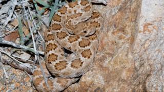 Crotalus catalinensis (uma cascavel sem guizo, endêmica da Ilha Santa, Catalina, México)