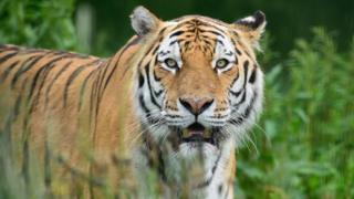 Tiger Marty
