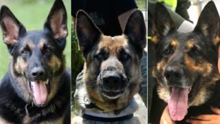 Composite of three German Shepherd dogs