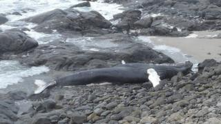 Humpback whale found on Barra