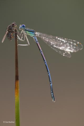 A colourful blue feather leg dragonfly and a fly in Bad Alexandersbad, Germany.