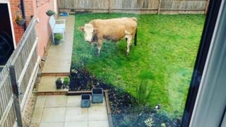 Bull in a back garden