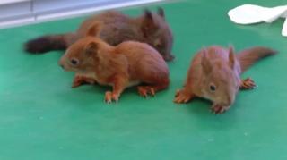 Bebe veverice