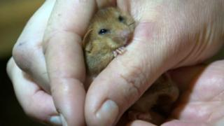 Dormouse at Wildwood Discovery Park