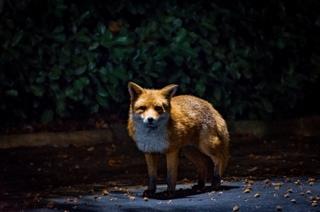 East Kilbride fox