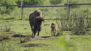 A mother bison and her calf