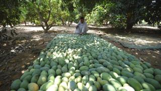 A farmer checking mangoes on laid out on the floor in Al-Giza, Egypt